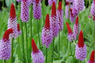 Orchid Primrose 25 Seeds - Primula vialii - Shade Perennial