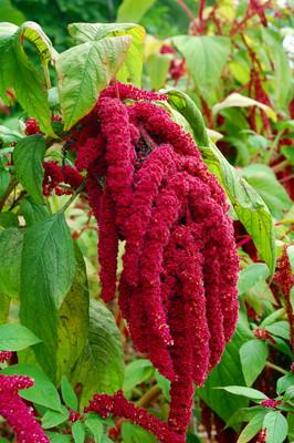 Love Lies Bleeding Amaranthus 150 Seeds - Heirloom