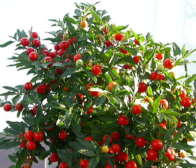 Jerusalem Cherry 15 Seeds - Solanum - House Plant