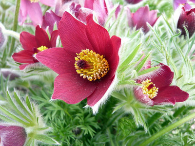 Red Cloak Pasque Flower 15 Seeds - Shade Perennial