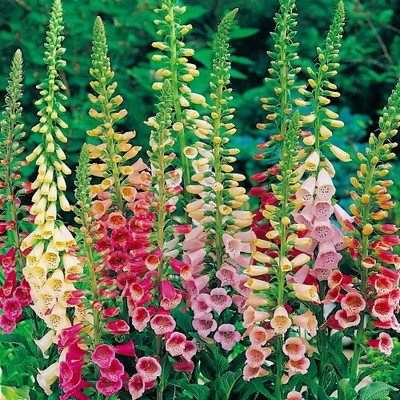 Foxglove Excelsior Hybrid Mix 100 Seeds-Digitalis