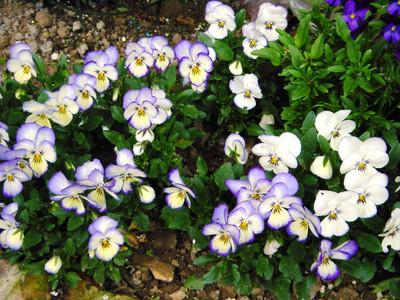 Viola Magnifico Hybrid 20 Seeds