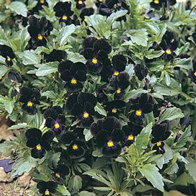 Bowles Black Viola 60 Seeds - GOTHIC