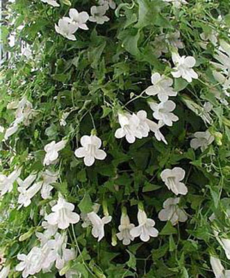 Bridal Bouquet Vining Snapdragon 20 Seeds - Vine