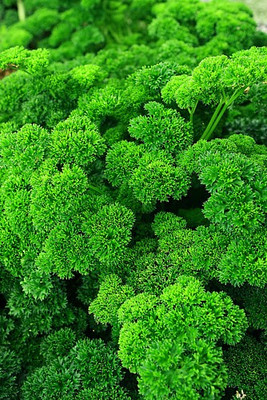 Afrodite Parsley 100 Seeds - Great Flavor, Great Look