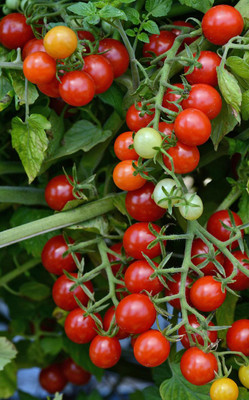 Candyland Red Small Fruited Tomato - 10 Seeds - Grape/Cherry Tomato
