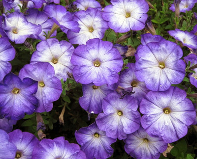 Merlin Blue Moon Petunia 10 Seeds - Annual