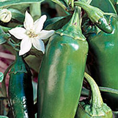 Jalapeno Chile Pepper - 100 Seeds - GARDEN FRESH PACK!