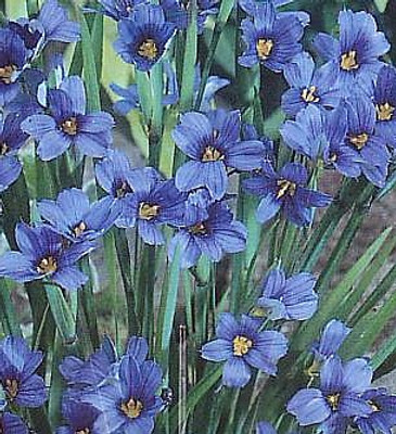 Blue-Eyed Iris Grass Plant 50 Seeds