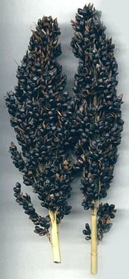 Black Amber Broom Corn 50 Seeds - Ornamental