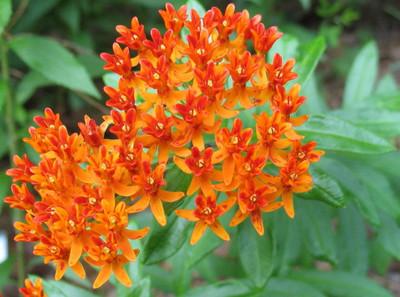 Butterfly Flower Perennial - 20 Seeds - Asclepias