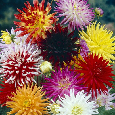 Dahlia Cactus Hybrid 50 Seeds - Colorful!