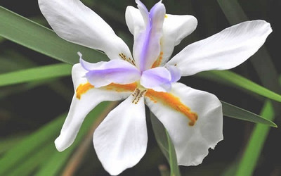 African Iris 10 Seeds - Moraea - Tropical