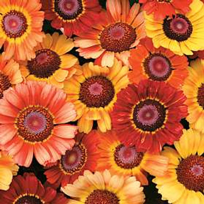 'Sunset' Chrysanthemum - 200 Seeds - Fiery Shades!