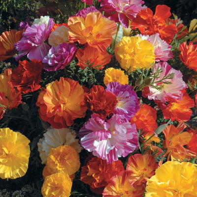 'Jelly Beans' California Poppy-150 Seeds-Summer Color!