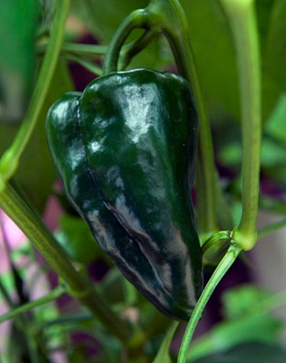 Ancho San Luis Pepper - 20 Seeds - Mildly Hot