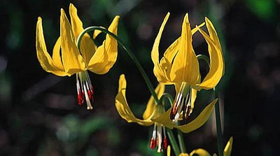 Yellow Pagoda Hardy Violet 10 Seeds - Shade Perennial