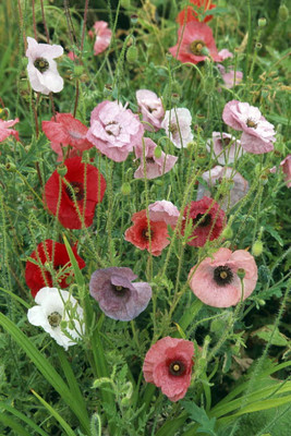 Poppy Fairy Wings 50 Seeds/Seed