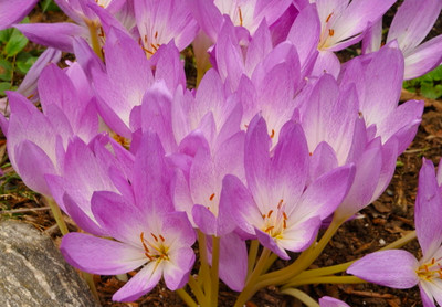 Autumn Major Colchicum Fall Crocus 20 Seeds