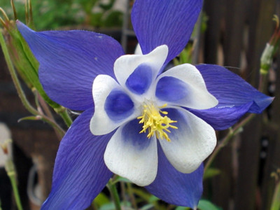 Blue Star Columbine 20 Seeds/Seed - Aquilegia
