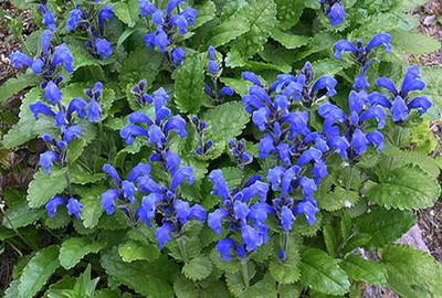 Blue Dragon Perennial 50 Seeds - Dracocephalum