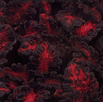 Black Dragon Coleus 40 Seeds