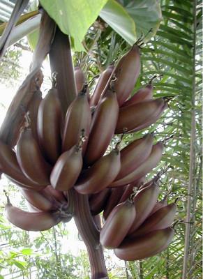 French Banana 8 Seeds - Musa paradisiaca