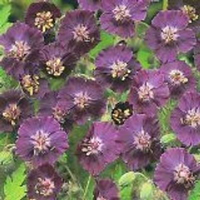 Widow Perennial Geranium 15 Seeds