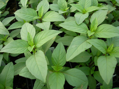 Lime Basil 100 Seeds - Herb