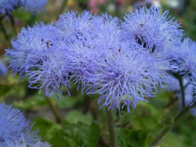 Blue Blazer Ageratum - 20 Seeds