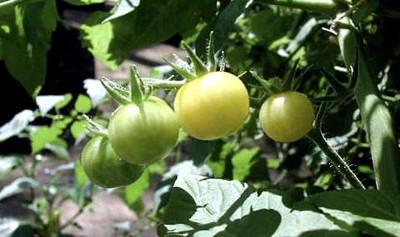 Snow White Cherry Tomato 35 Seeds - Very Sweet!