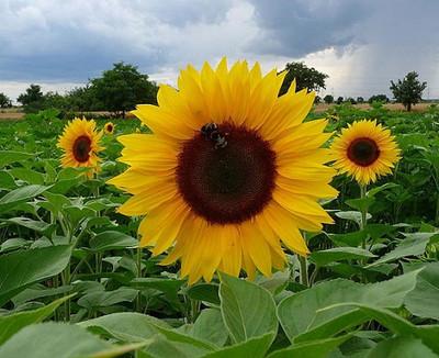 Sunspot Hybrid Sunflower 20 Seeds