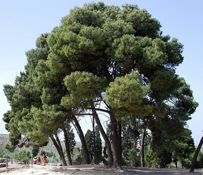 Aleppo Pine Bonsai 30 Seeds-Pinus halepensis