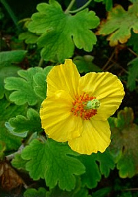 Himalayan Woodland Poppy 25 Seeds - Meconopsis villosa