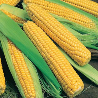 Bodacious Sweet Corn - 300 Seeds - VALUE PACK!