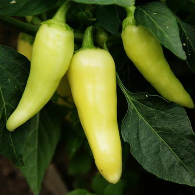 Santa Fe Grande Pepper 30 Seed/Seeds - Sweet & Mildly Hot