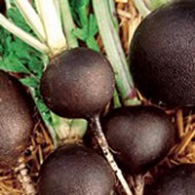 Black Spanish Round Radish 500 Seeds-GARDEN FRESH PACK!