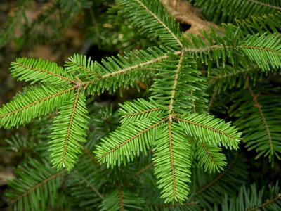 Grand Fir 20 Seeds - Abies grandis - Bonsai