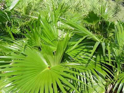 Chinese Fan Palm 10 Seeds - Livistona