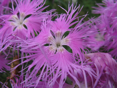 Bearded Pink Shades Dianthus - 100 Seeds - Fringed