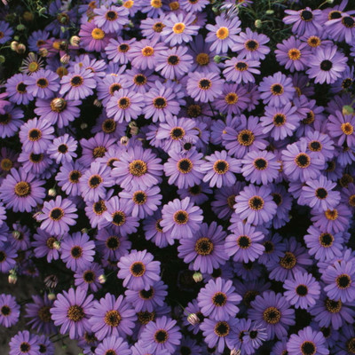 Brachycome Purple Splendour 50 Seeds - Annual