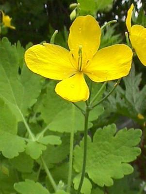 Celadine Poppy 30 Seeds - Chelidonium majus -SHADE