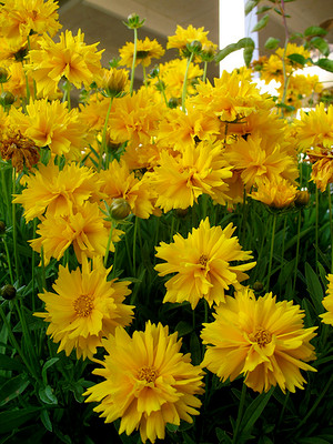 Sunray Coreopsis Perennial - 30 Seeds, 175 mg
