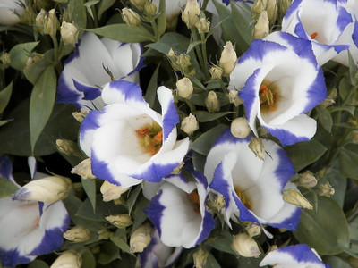 Twinkle Blue Blush Lisianthus 20 Seeds - Eustoma