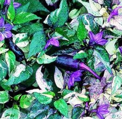 TRI-FETTI VERY Hot Pepper 20 Seeds - Ornamental/Edible