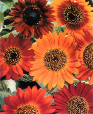 Earthwalker Sunflower 30 Seeds