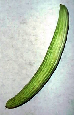 Kyoto Yard Long Cucumber 10 Seeds - Longest in the World!