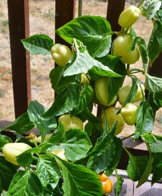 Albino Sweet Bell Pepper 15 Seeds - Early White