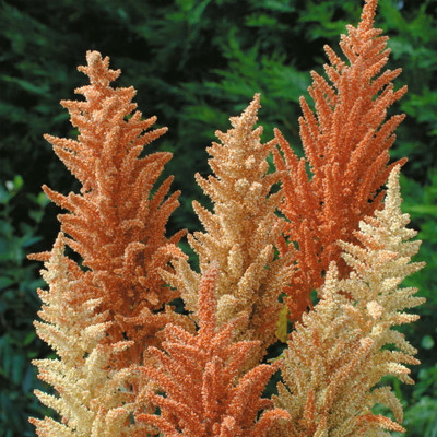 Autumn Palette Princess Feather 100 Seeds-Amaranthus