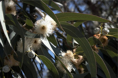 Tasmanian Blue Gum 30 Seeds - Eucalyptus - Herb